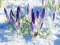 Neve a primavera, i fiori sbocciano!