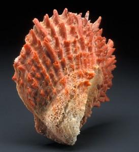 La bella conchiglia Spondylus